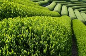 Зеленый чай польза или вред